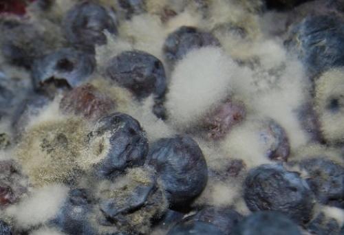 moldyberry